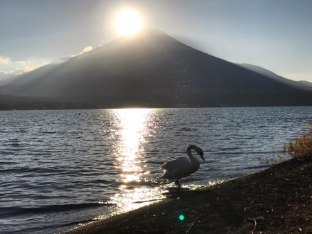 Diamond Fuji and a swan at the lake Yamanakako