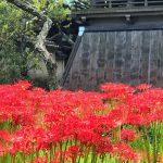 Red spider lily and Shoro Belfry in Eishoji temple in Kamakura