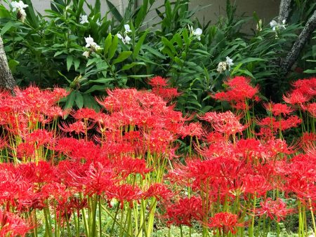 Red spider lily and ginger flower in Eishoji temple in Kamakura