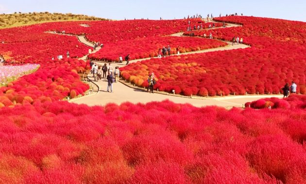 Autumn leaves of Kochia in Hitachi Seaside Park