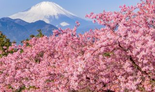 Mt.Fuji at Matsuda Cherry Blossom Festival 2019