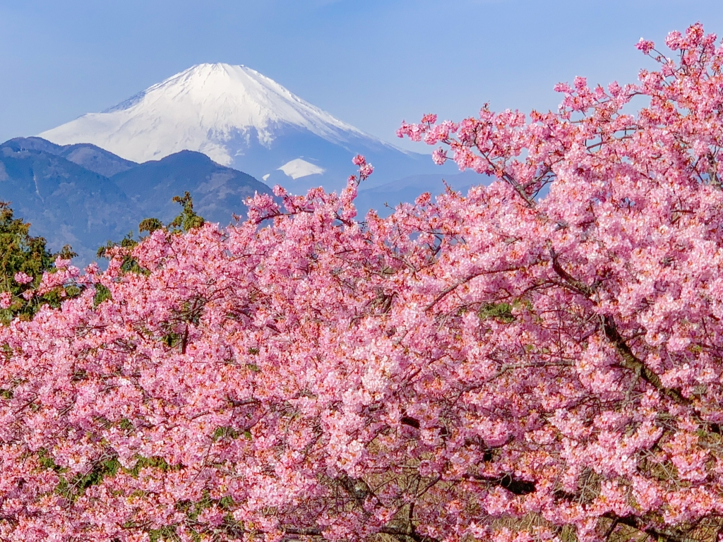 Early Cherry Blossoms And Mt Fuji Amazing Photo Spots In Japan