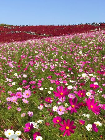 Autumn leaves of Kochia and cosmos flowers in Hitachi Seaside Park