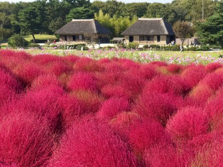 Autumn leaves of Kochia, restored traditional Japanese houses and cosmos flowers in Hitachi Seaside Park