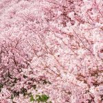 Cherry blossoms in Ichinoseki-Harane