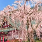400 years old Shidare-Zakura cherry blossoms in Minobusan Kauonji Temple