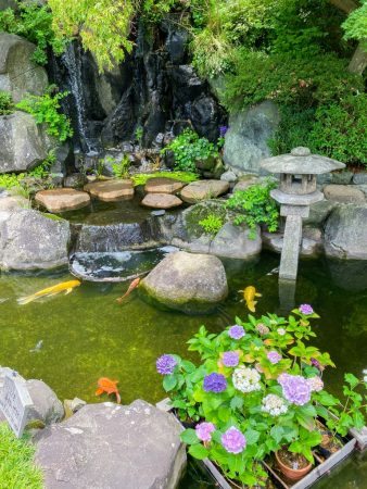 koi fishes and floating potted hydrangeas in Hase temple