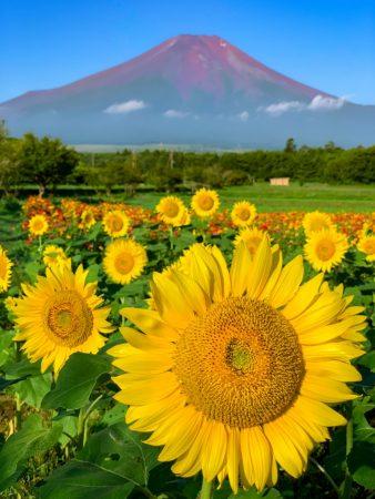 Sunflowers and Mount Fuji in Hanano Miyako Koen Park