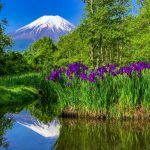 Mt.Fuji and the iris at Dojo-Ike pondo