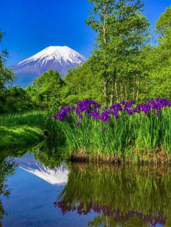 Mt.Fuji and the iris at Dojo-Ike pondo