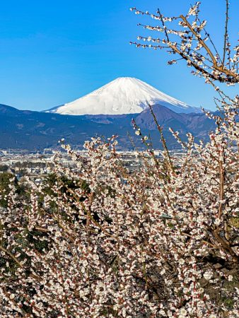 Plum blossoms and Mount Fuji in Soga,Japan