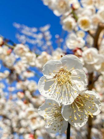 Plum blossoms in Soga,Japan