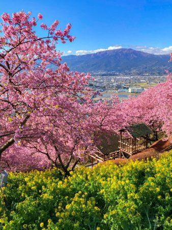 Matsuda Cherry Blossom Festival