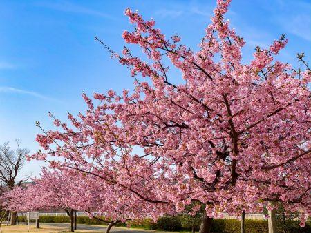Kawazu Sakura in Hikichigawa Shinsui Koen Park
