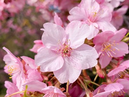 Matsuda Cherry Blossom Festival 2019