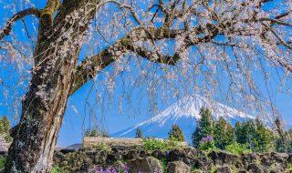 Mt.Fuji and shidare sakura in Jyokyo-ji temple in Fujinomiya city