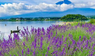Lavenders and Mount Fuji at Kawaguchiko herb festival2018