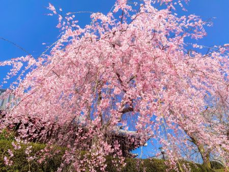 Shidare Zakura cherry blossoms in Taiseki-ji temple