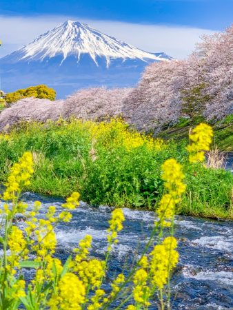 cherry blossoms and Mt.Fuji at Ryuganbuchi 2019