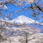 Cherry blossoms and Mt.Fuji in Taiseki-ji temple
