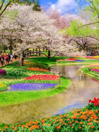 Tulip field and cherry blossoms in Showa Memorial Park in Tokyo