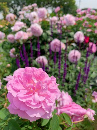 roses at Minato-no-mieru-oka park