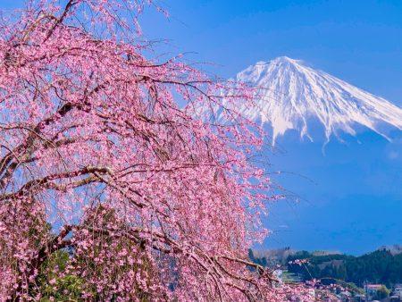 Shidare Zakura and Mt.Fuji at Myosen-ji temple