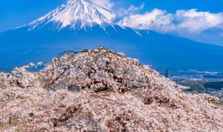 Shidare Zakura cherry blossoms and Mt.Fuji at Sensho-ji temple