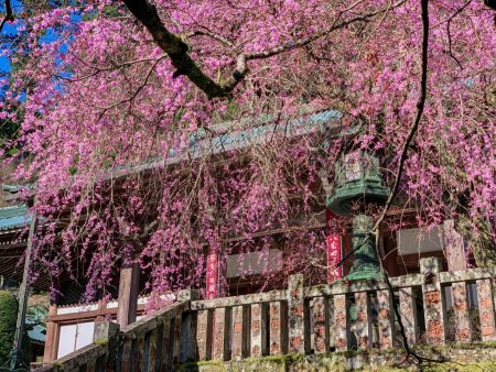 Shidare Zakura cherry blossoms in Saijo-ji temple
