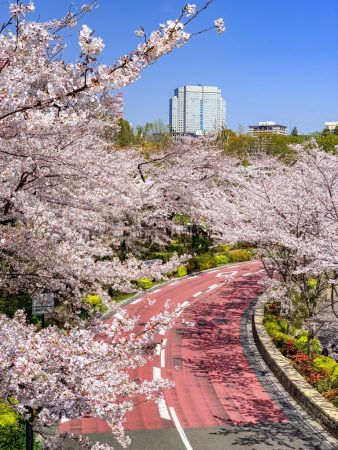 Cherry blossoms in TokyoMidtown