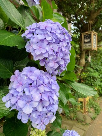 Hydrangeas in Enoshima island