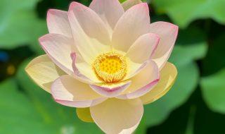 Lotus flowers in Daiichi Hasuike in Fujisawa city