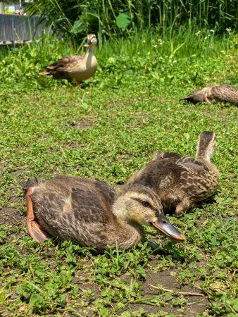 Family of ducks in Daiichi Hasuike in Fujisawa city