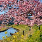 Kawazu Zakura cherry blossoms in Minami Izu Town