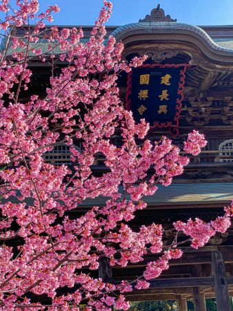 Okame Zakura cherry blossoms and Kencho-ji temple