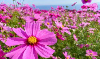Cosmos flowers in Awaji Hana-sajiki park