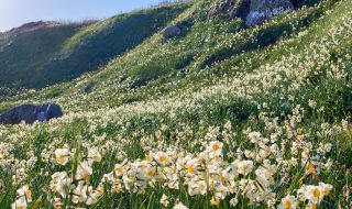 Narcissus flowers at cape Tsumekizaki in Shimoda city