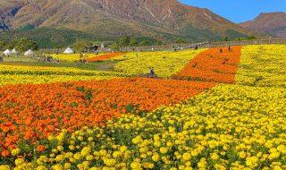 marigold field in Kuju Flower Park