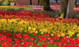 Tulip garden at Yokohama Park